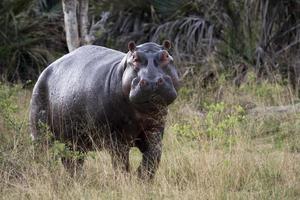 flusspferd, nijlpaard amphibius foto