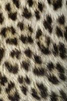 luipaard verbergen close-up foto