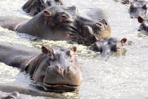 nijlpaarden zwemmen in een zwembad foto