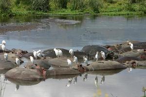 vogels op de achterkant van het zwemmen nijlpaard, ngorongoro krater, serengeti, tanzania foto