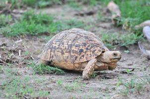 luipaard schildpad foto