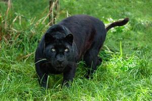 zwarte luipaard jacht in het lange gras foto