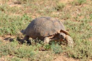 luipaard schildpad