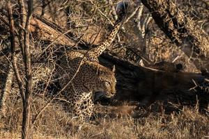 luipaard wandelen foto