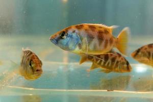 nimbochromis venustus (venustus hap) foto