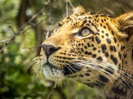 luipaard met groene ogen foto