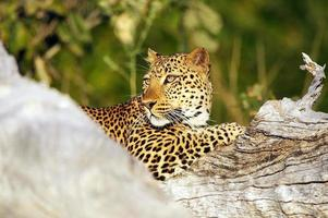 luipaard (panthera pardus) foto