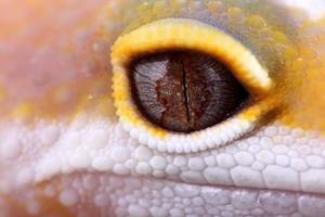 eublepharis macularius foto