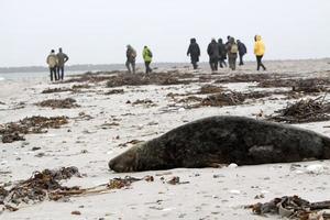 mensen ontmoeten en de grijze zeehond foto