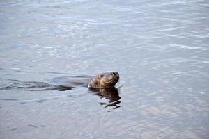 grijze zeehond individueel foto