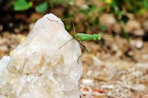 bidsprinkhaan op een kwarts rots foto