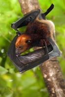 vliegende vleermuis foto