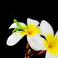 jonge bidsprinkhanen op plumeria bloem foto