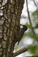 sturnus vulgaris brengt voedsel naar de kuikens in het nest foto