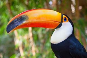 kleurrijke tucan foto
