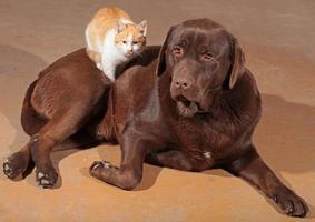 kleine oranje kat met een bruine labrador foto