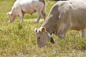 koeien foto