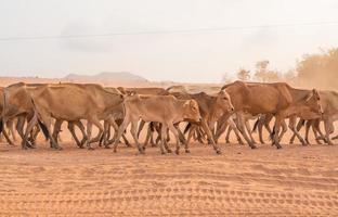 bruine koeien foto