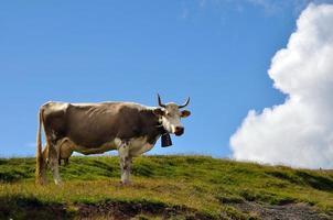 melkkoe in Zwitserland foto