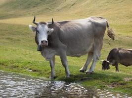 Zwitserse melkkoe het voeden gras op een alpiene weide foto