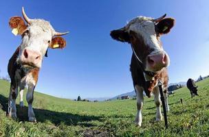 twee jonge simmental runderen foto