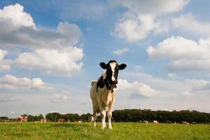 nederlandse koe