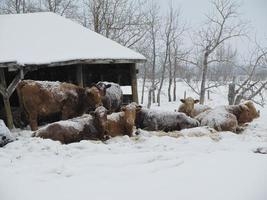 sneeuw koeien foto