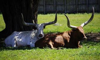 longhorn koeien foto