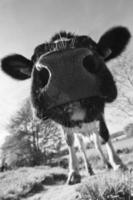 nieuwsgierige koe foto