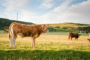 eiland koeien foto