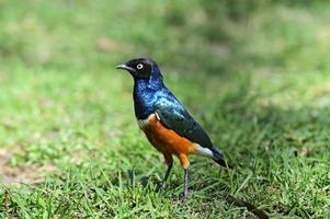 kleurrijke schitterende spreeuw foto