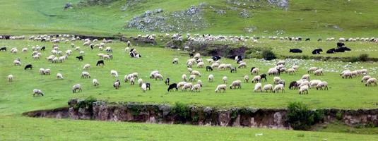 vacas, toros y ovejas foto