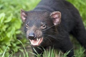 een grommende tasmaanse duivel die op het punt staat buiten aan te vallen foto