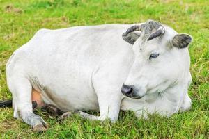 koe grazen in de wei in de buurt van de boerderij foto