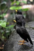 terug spreeuw acridotheres javanicus op zwarte steen foto