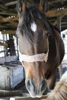 bruin paard in een stal foto