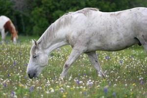 paarden grazen foto