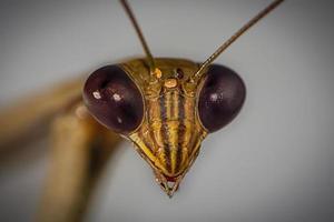 bruine bidsprinkhaan (mantis religiosa), hoofddetail