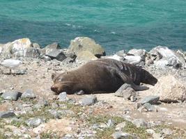 slapende zeehond foto