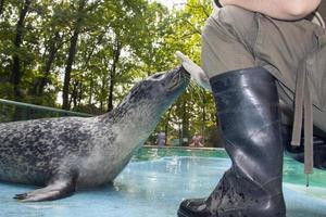 gewone zeehond foto