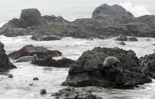 gewone zeehonden foto