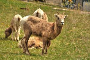 dikhoorn op gras in alberta foto