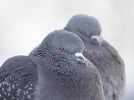 duiven in de winter op het meer foto