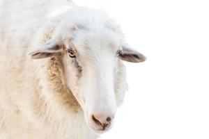 sluit omhoog van een schaap dat op witte achtergrond wordt geïsoleerd foto