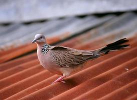gevlekte duif foto