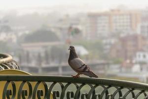 mannelijke duiven op het balkon foto
