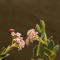 bidsprinkhaan en lieveheersbeestje foto