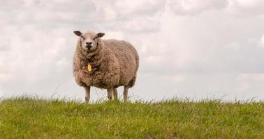 een schaap dat op een dijk staat foto
