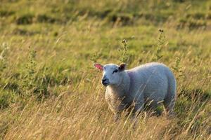 schapen bij zonsondergang licht foto