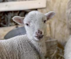 nieuwsgierig mooi niet geschoren schaap met lam foto